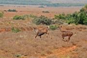 Female kudu at Addo