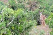 Kudu female with a foal
