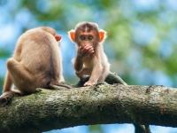 Pig tailed macaque young, Kinnabatangnan River