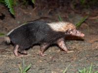 Malay stink badger or Sunda skunk, Deramakot Forest Reserve
