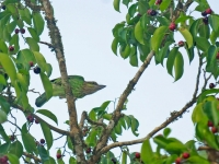 Green-eared barbet, Khaeng Krachan NP