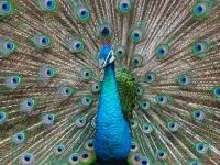 Peacock, Kanhanaburi