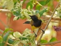 Olive-backed sunbird, Kanchanaburi