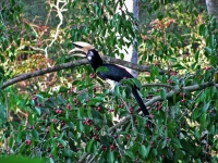 Oriental pied hornbill, Khaeng Krachan NP