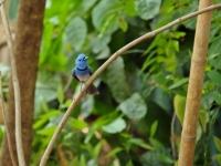 Blue-naped monarch, Kanchanaburi