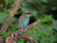 Blue-winged pita chick, Kanchanaburi