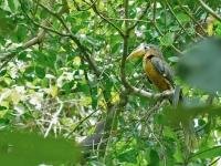 Brown hornbill, Khaeng Krachan NP