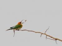 Chestnut-throated bee-eater