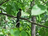 Chestnut-winged Cuckoo, Kanchanaburi