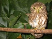 Collared owlet, Kanchanaburi