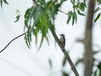Fulvious-breasted woodpecker, Kanhanaburi