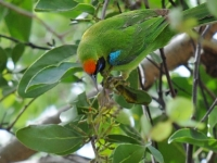 Golden-fronted leafbird, Kanchanaburi