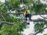 Great hornbill, Khao Yai National Park
