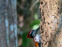 Greater flame-backed woodpecker,