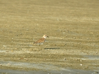 Greater sand plover, Khao Sam Roy Yot National Park