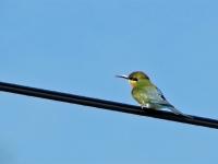 Green bee-eater in rural Kanchanaburi