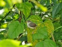 Grey-breasted prinia chick, Kanhanaburi