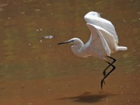 Egret, Kanchanaburi