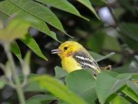 Common iora chick, Kanhanaburi