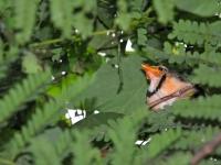 Lesser Necklaced laughingthrush chick, Kanchanaburi