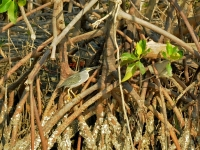 Little heron, Khao Sam Roy Yot National Park