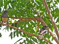 Magpie-robins, Kanhanaburi