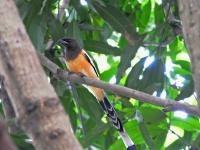 Rufous treepie, Kanhanaburi