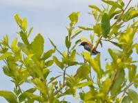 Scarlet-backed flowerpecker, Kanhanaburi