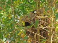 House sparrow at the nest, Kanhanaburi