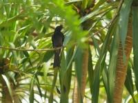 Sprangled drongo, Kanhanaburi