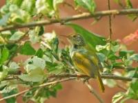 Common tailorbird, Kanchanaburi