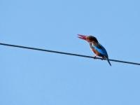 White-throated kingfisher, Khao Sam Roy Yot