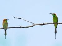 Green bee-eaters, Kanchanaburi