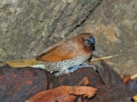 Scaly-breasted munia, Kanhanaburi