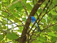 Blue-naped monarch, Kanchanaburi