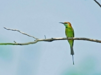 Green bee-eater in rural Kanchanaburi