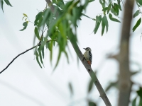 Fulvious-breasted woodpecker, Kanhanaburi