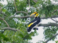 Great hornbill, Khao Yai National Park