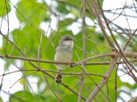 Grey-breasted prinia, Kanhanaburi