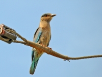 Indian roller, Kanhanaburi