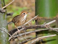 Puff-throated-babbler