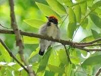 Scarlet-backed flowerpecker, Kanhanaburi