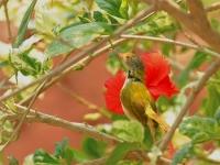 Common tailorbird, KanchanaburiCommon tailorbird, Kanchanaburi
