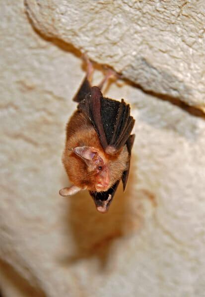Kitti Hog-nosed bat