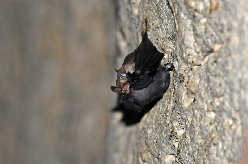 Kitti Hog-nosed bat with a young