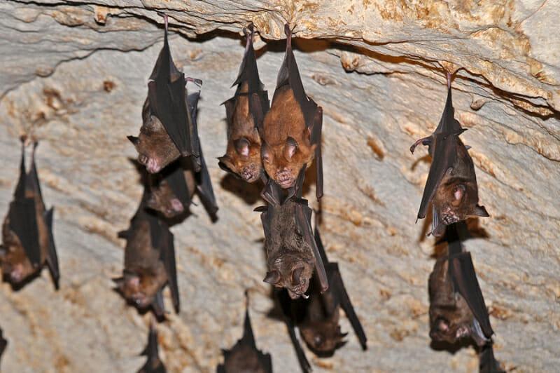 Roundleaf bat family