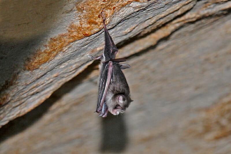 Trident roundleaf bat