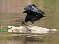 Black volture feeding on caiman carcass