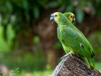 Blue-fronted parrots