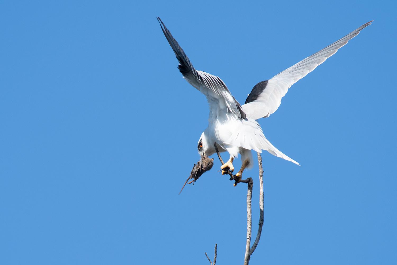 Black-shouldered kite eating a rat